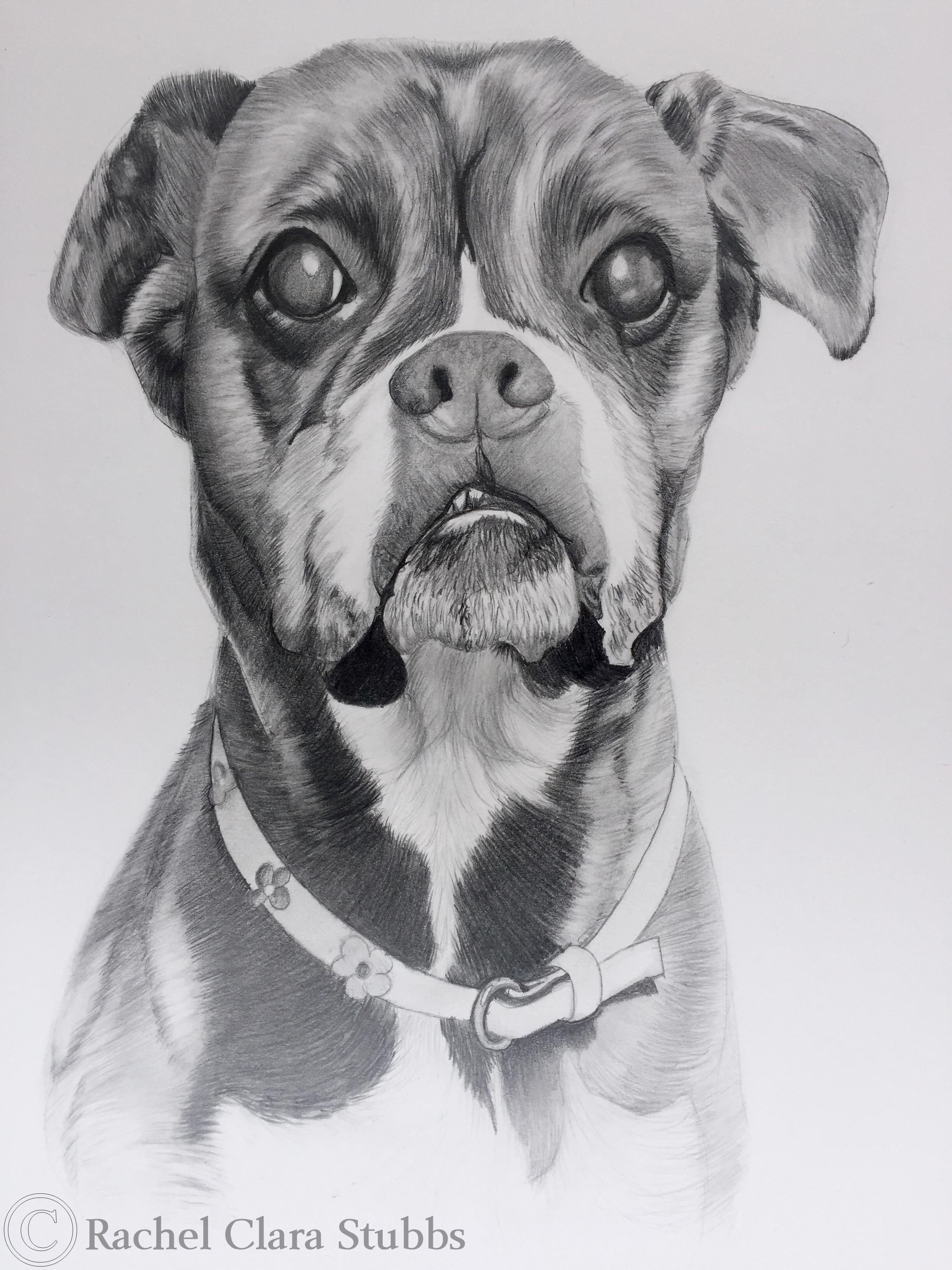 boxer pet portrait