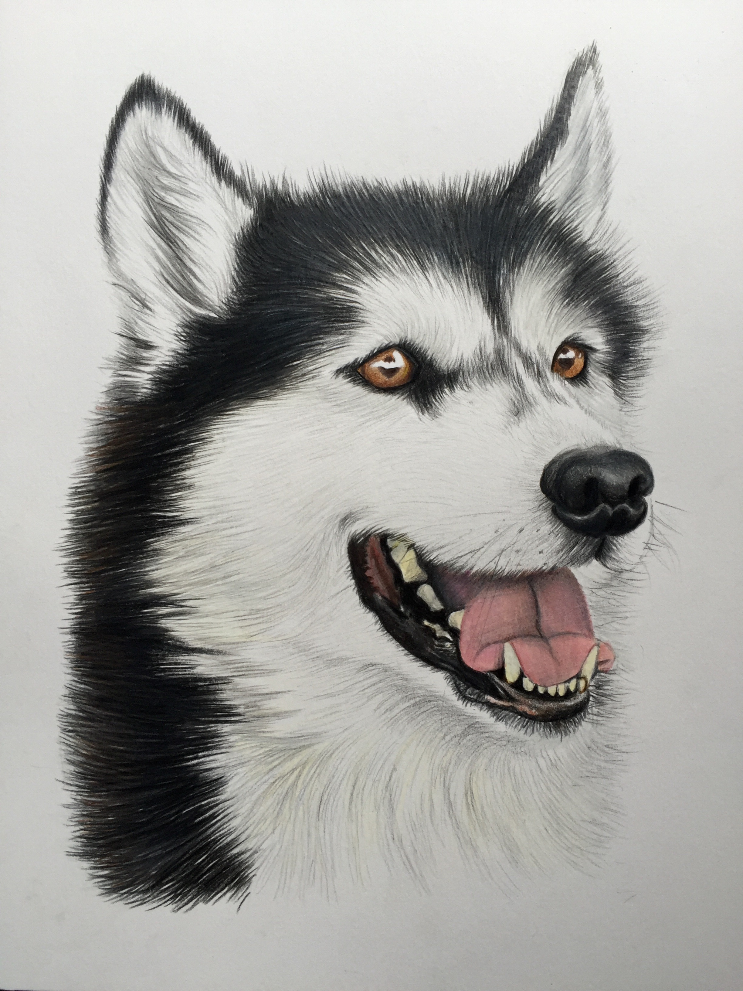 husky pet portrait