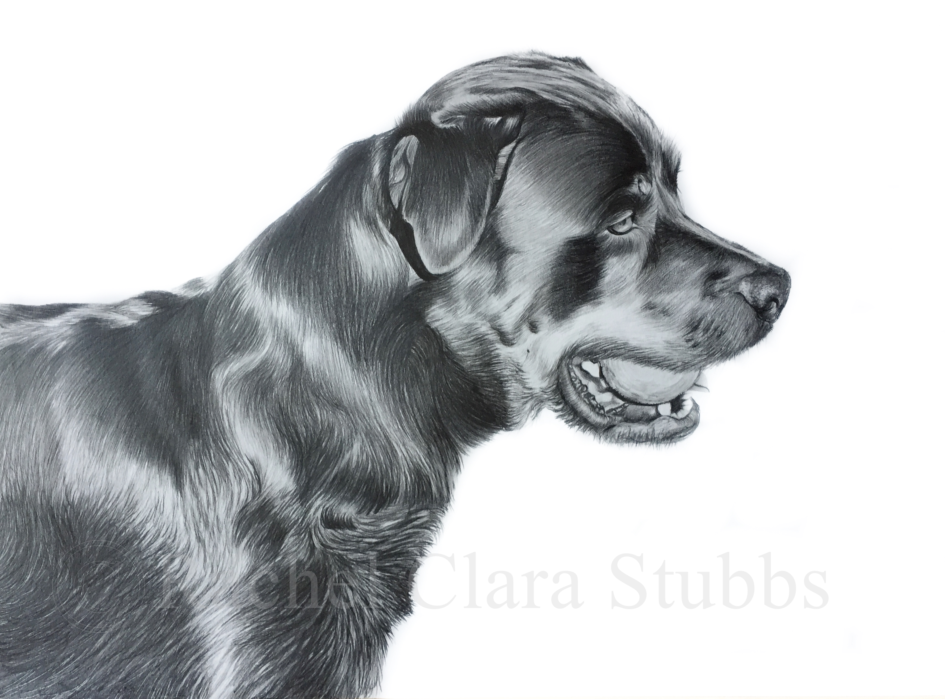 Rottweiler dog pet portrait