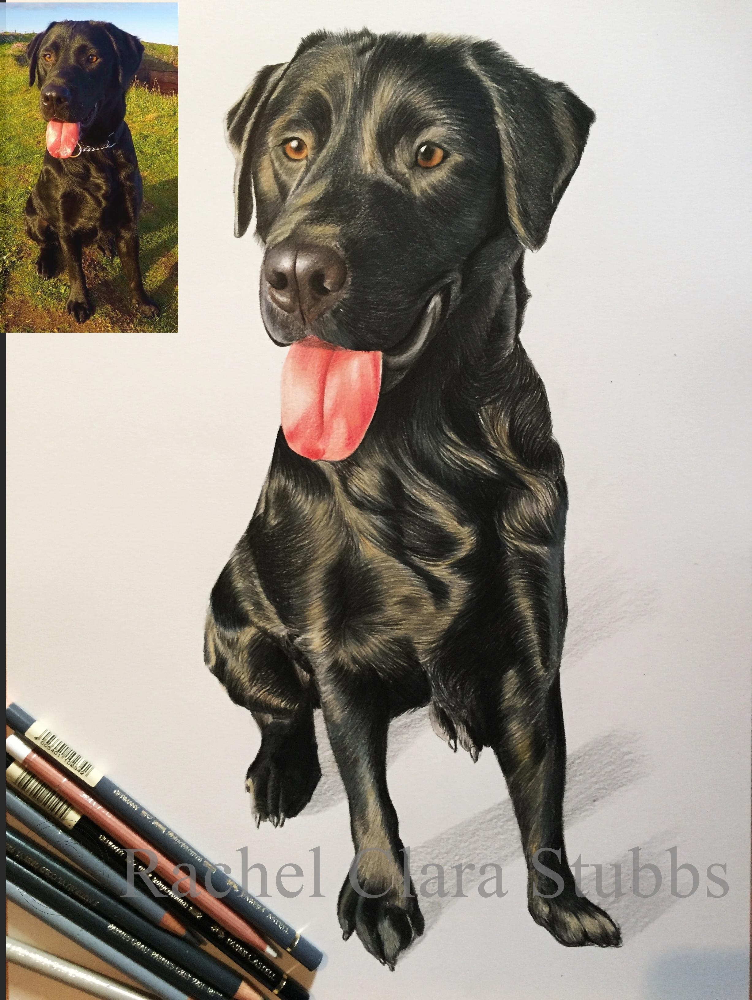 labrador dog pet portrait