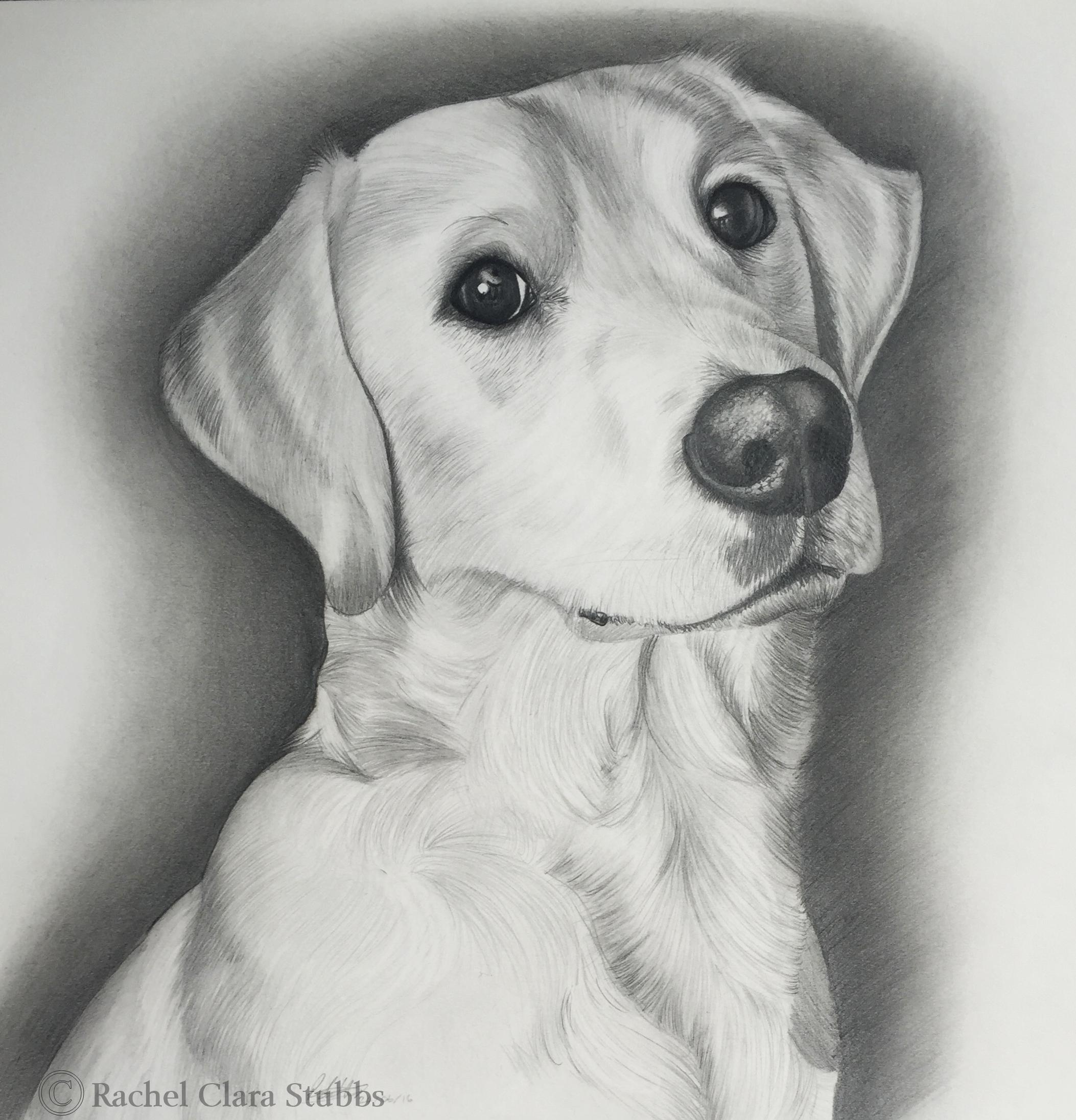 Labradoodle pet dog portrait